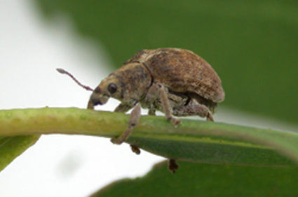 Defoliador de eucalipto Gonipterus Scutellatus