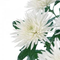 CRISANTEMO ANASTASIA (8x12 plantas)