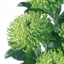 CRISANTEMO ANASTASIA DARK GREEN (8x12 plantas)