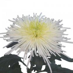 CRISANTEMO SPIDER WHITE (8x12 plantas)