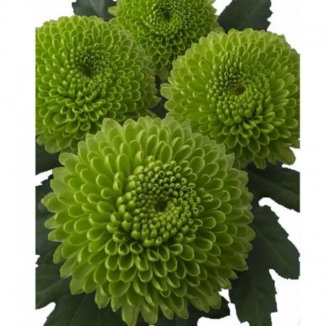 CRISANTEMO CODE GREEN (8x12 plantas)