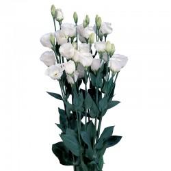 LISIANTUS PICCOLO 2 WHITE PURE (8x12 plantas)