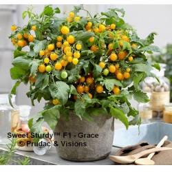TOMATE STURDY GRACE (8x1 plantas)