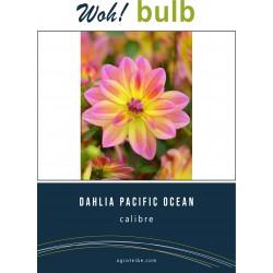 Woh! Bulb -dahlia PACIFIC OCEAN