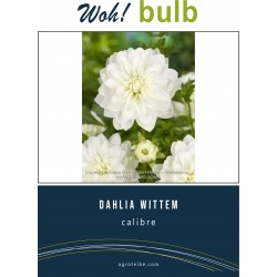 Woh! Bulb -dahlia WITTEM