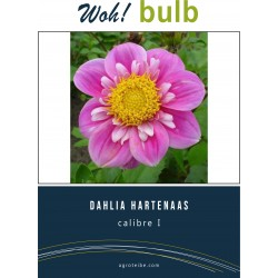 Woh! Bulb -dahlia HARTENAAS