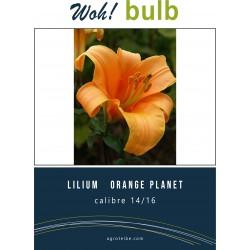 Woh! Bulb -lilium   ORANGE PLANET