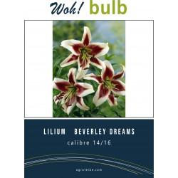Woh! Bulb -lilium   BEVERLEY DREAMS