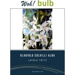 Woh! Bulb -gladiolo COLVILLI ALBA