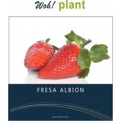 Woh! plant - Fresa