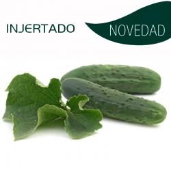 PEPINO INJERTADO GRANADA (8x4 plantas)