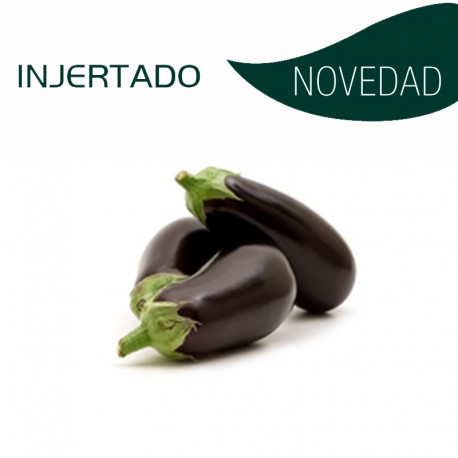 BERENJENA INJERTADA -MONARCA F1  (8X4 plantas)